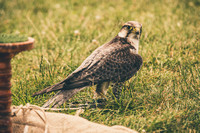 2015-06-26 Corfe Falconry (9 of 173)