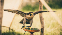 2015-06-26 Corfe Falconry (16 of 173)