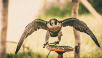 2015-06-26 Corfe Falconry (14 of 173)