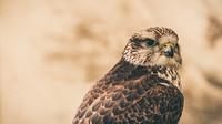 2015-06-26 Corfe Falconry (10 of 173)